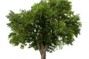 tree 300x200